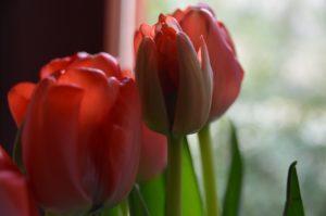 Frühlingserwachen mit Tulpen